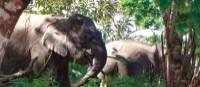 Wild elephants in Borneo | Caroline Mongrain