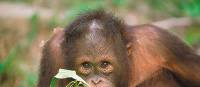An orangutan in Sepilok | David Kirkland