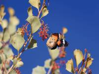 Butterfly on some native Holly Grevillea on the Larapinta Trail. |  <i>Ayla Rowe</i>